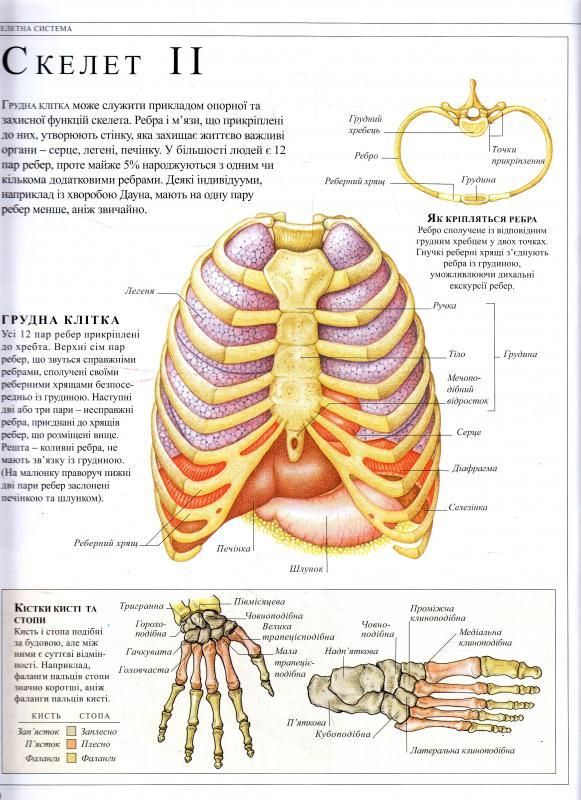 О том, как я систематизировала знания в области анатомии и физиологии 3